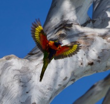 Rainbow lorikeet at Noosa National Park